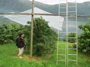 Morellene beskyttes mot skader fra regn