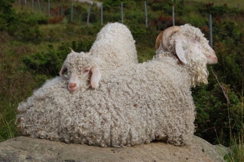 Mohairgeit - Grønt Spa'tak ungdommer i kontakt med dyr